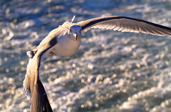 Arrival! ( Spice (^_^)) Tags: ocean travel november sea vacation bird art nature water animal japan canon photography eos fly flying interesting wings eyes asia flickr colours image bokeh wordpress seagull gull spice fl