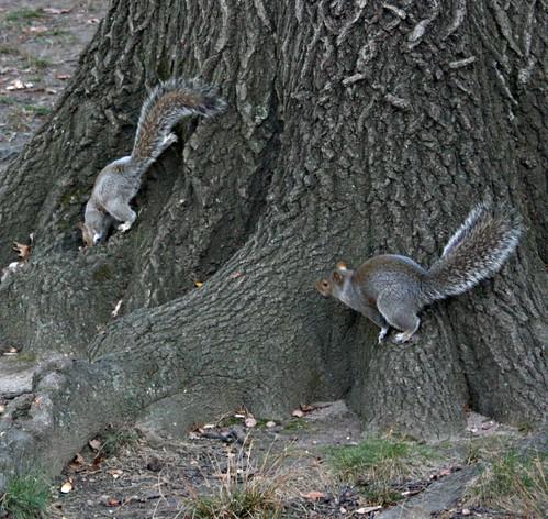 Nov29park-RedTailandSquirrels 014