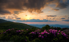 Sunset blooms (Matt Williams Gallery) Tags: mattwilliamsphotography nikon d500 roanmountain roanhighlands janebald roundbald clouds sky sunset sun light rhododendron bloom blooming pink nature naturephotography northcarolinaphotographer northcarolina mountains appalachiantrail outdoors hiking fineartphotography fineart landscape landscapephotography