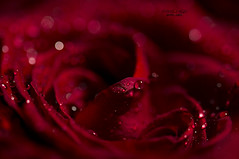 from the nooks of my soul ... (mariola aga) Tags: flower rose red petals macro closeup waterdrops heart soul art