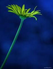 Stem (evanffitzer) Tags: flower canoneos60d 100mm macro petals stem yellow bokeh evanfitzer evanffitzer photography photographer garden grow outside outdoors blue plant dark glow daisy