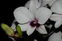 Vappodes dicupha (andreas lambrianides) Tags: vappodesdicupha orchidaceae dendrobiumdicuphum dendrobiumaffine australianflora australiannativeplants australianrainforests australianrainforestplants australianrainforestorchids rainforestorchids epiphyticorchid lithophyticorchid arfflowers whitearfflowers arfp ntrfp warfp australianorchids littoralarf monsoonarf