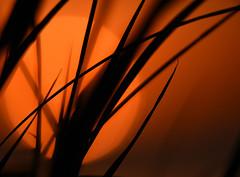 Sun disappearing behind sawgrass. (Jill Bazeley) Tags: cladium jamaicense sawgrass sunset florida native plants merritt island brevard county wetland silhouette space coast nikon d7200 300mm pf everglades sedge