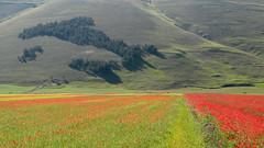 L'Italia a colori (EmozionInUnClick - l'Avventuriero's photos) Tags: italy natura fiori montagna umbria appennino castelluccio sibillini