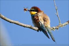 Gupiers d'Europe (Haute-Garonne, 31)_#92 (Christophe.R.) Tags: bird t 31 oiseau oiseaux hautegaronne gupiersdeurope canon100400mmf4556lisusm midipyrenes canon5dmarkii