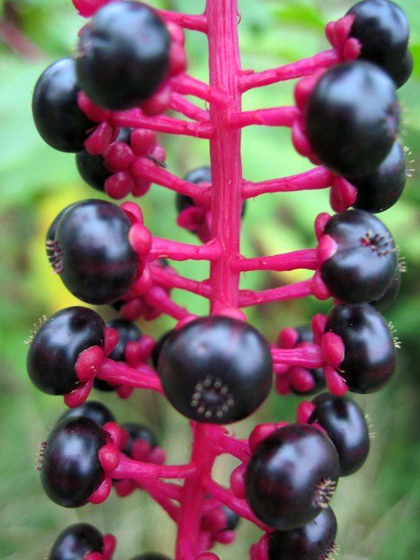 Pokeberry 2