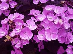 Lila Hortensie /Hydrangea  - 015 (roba66) Tags: flowers plants flores flower colour nature fleur fleurs flora blossom natur flor pflanzen blumen blume farbe blten flori effe naturalezza flowersarebeautiful roba66 blumenorosen