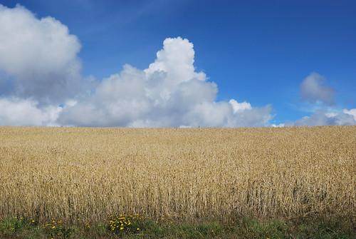 Campos de cereales y el cielo azul