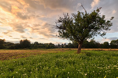 Sunset Tree (Philipp Klinger Photography) Tags: flowers light sunset shadow summer sky sun flower tree green nature field grass clouds germany landscape deutschland leaf nikon warm hessen hill bad meadow vivid fresh gras leafs philipp taunus dri hdr hesse badhomburg klinger homburg hochtaunuskreis d700 sigma1735mmf2840 vanagram exif17mm