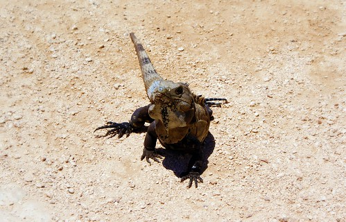 Iguana, they were everywhere