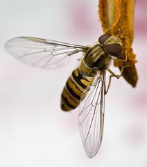 Hoverfly (Episyrphus balteatus) (Alan F17) Tags: creative moment creativemoment