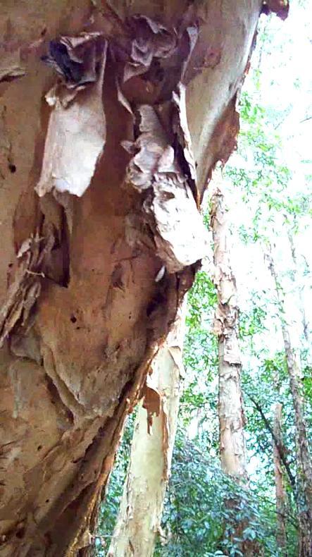 Paperbark bark July 2010