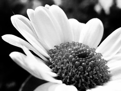 Black & White Flower (mario_nery) Tags: pb