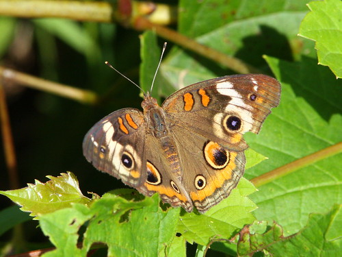 Common Buckeye 20100830
