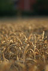 Golden wheat (Jaedde & Sis) Tags: game field sepia focus grandmother wheat harvest seeds pre winner sweep korn selectivefocus bigmomma hvede friendlychallenges ultrahero acfy challengefactorywinner thechallengefactory fotocompetition fotobronze fotocompetitionbronze herowinner ultraherowinner storybookwinner pregamesweepwinner