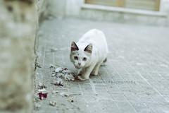 [Ambush.] ([L] di .zuma) Tags: bianca coda titti gatta titty assalto vicini agguato grigia zampette