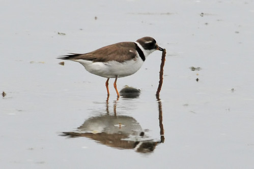 plover gets the worm 3