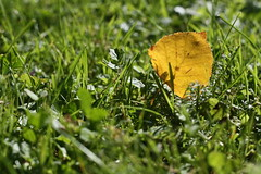 The summer moved on... (Cobra_11) Tags: autumn summer fall hoja grass canon golden leaf