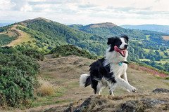 Home Again! (meg price) Tags: summer dog home happy collie play sheepdog run malvern bordercollie barney thelittledoglaughed magicunicornverybest