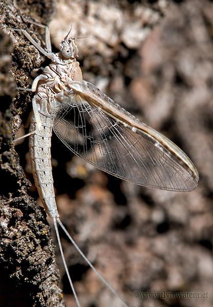Mayfly Quarter Angle