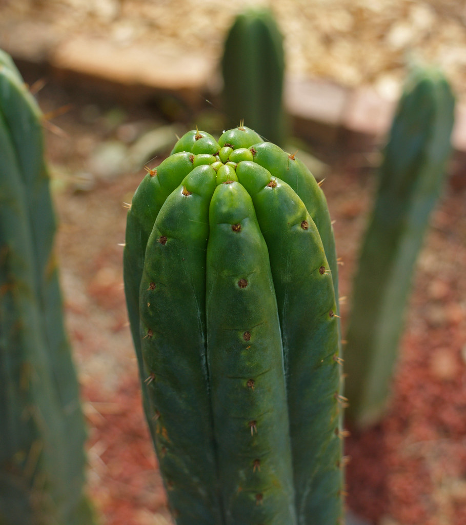 Something Different - Trichocereus :) 4959784848_fcaa93a32a_b