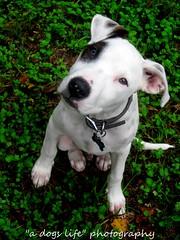 """just my dog"" (Willow Creek Photography) Tags: dog puppy tyson pit pitbull apbt"