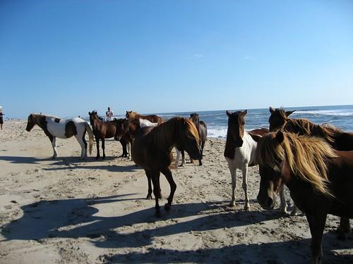 Wild Horses - Assateague Island National Seashore