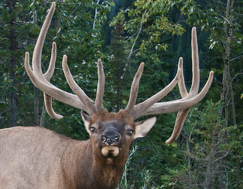 Mad Elk