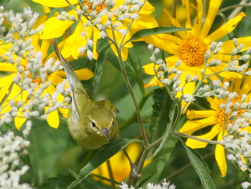 Tennessee Warbler in flight 20100909