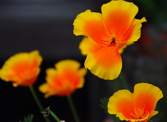 California Dreaming 2 (antonychammond) Tags: flowers orange yellow garden poppies californiapoppies flowerotica bej masterphotos natureplus flickraward flowersarebeautiful colourartaward mimamorflowers nikonflickraward virgiliocompany