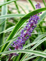 Liriope Muscari (Universal Pops ( Computer Died)) Tags: flower green nature leaves berries purple angle blossom northcarolina raleigh bloom monkeygrass lilyturf liriopemuscari bordergrass