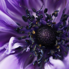 You don't have to say... (jewelflyt) Tags: flower macro bulb square lyrics spring purple bokeh anemone stamen cropped processed lifted lighthousefamily hpps perfectpurplesaturday