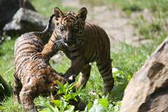 Blijdorp-5691 (Arie van Tilborg) Tags: zoo blijdorp gio hermes alia vanni sumatraansetijger arievantilborg tijgertjes tijgerwelp