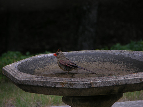 Female cardinal in bath