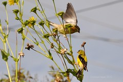whoops!!! (christiaan_25) Tags: food flower male adult eating father seeds falling finch stems perch mistake wildflower juvenile fledgling whoops tqm americangoldfinch silphiumperfoliatum cupplant backyward spinustristis lostfooting ineededalaughtoday