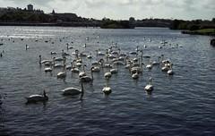 pgmc538 (the underlord) Tags: lake marina swan cosina bessa sunday cygnet rangefinder 200asa swans fujifilm southport cygnets merseyside fujicolor jupiter8 superia200 colorskopar254 r4a voigtlanderbessar4a