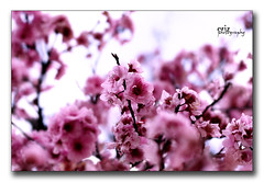 Spring is now Down Under! (i) Tags: pink flowers spring blossoms magenta australia melbourne victoria springdownunder erizphotography