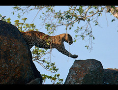 Leap (Sara-D) Tags: nature canon jump wildlife leopard species srilanka ceylon endangered leap yala leopards endangeredspecies sarad panthera pantherapardus pardus asianwildlife saranga mammalsofsrilanka kotiya flickrbigcats sarangadevadealwis wildsrilanka sarangadeva