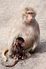 2010-08-28-11h36m01.272P9011 (A.J. Haverkamp) Tags: germany zoo hamburg hagenbeck hamadryasbaboon papiohamadryas dierentuin mantelbaviaan canonef100400mmf4556lisusmlens httpwwwhagenbeckde