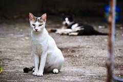 Stray cats in Tai O (Ali Tse) Tags: cats white cat hongkong tabby stray   taio