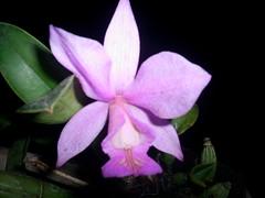 S5025868 (nilgazzola) Tags: orchids orquideas nilgazzola orquideasfloraçãosetembro2010