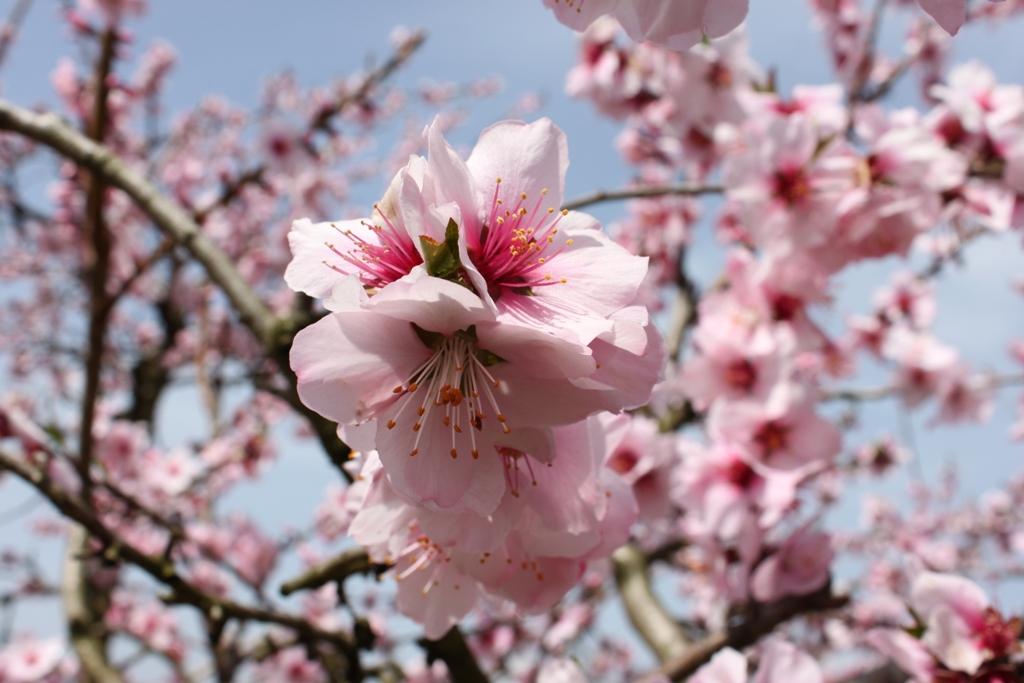 Sakura tour in Yamanashi (8)