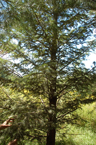 "Douglas Fir? <a style=""margin-left:10px; font-size:0.8em;"" href=""http://www.flickr.com/photos/91915217@N00/4997792342/"" target=""_blank"">@flickr</a>"