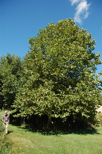 "Monster Sycamore Tree! <a style=""margin-left:10px; font-size:0.8em;"" href=""http://www.flickr.com/photos/91915217@N00/4997796510/"" target=""_blank"">@flickr</a>"