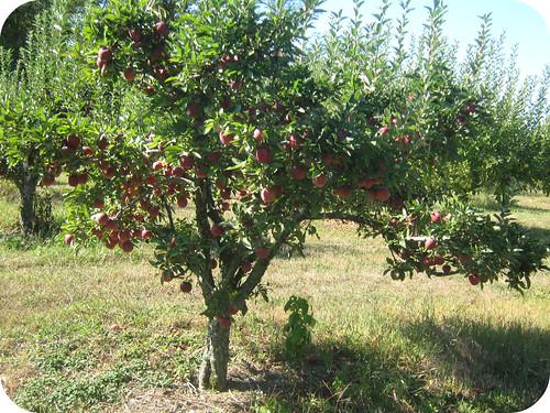 apples 17