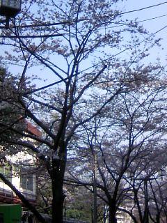大森駅前の桜