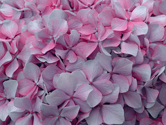Hortensia / Hydrangea (Fernando Coello Vicente) Tags: desktop flowers wallpaper flores flower nature petals flor hydrangea kwiaty fondodeescritorio hortensia kwiat ptalos natureleza hortensja patki patek