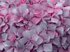 Hortensia / Hydrangea (Fernando Coello Vicente) Tags: desktop flowers wallpaper flores flower nature petals flor hydrangea kwiaty fondodeescritorio hortensia kwiat pétalos natureleza hortensja płatki płatek