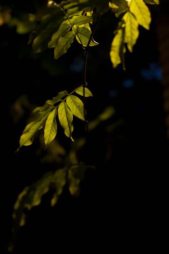 dark leaf
