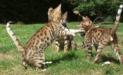 Littley's Summer 2012 Kittens